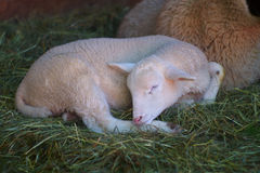 Moutons blancs se reposant en foin Photographie stock libre de droits