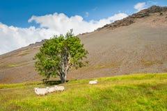 Moutons blancs sur le champ vert Photos stock