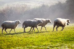 Moutons blancs sur un pré Photo stock