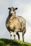 Moutons blancs sur une colline Images libres de droits