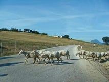 Moutons blancs troupeau des moutons frôlant sur la route de montagne Photographie stock libre de droits