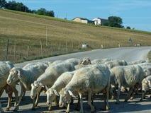 Moutons blancs troupeau des moutons frôlant sur la route de montagne Photos stock