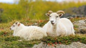 Moutons blancs typiques avec des agneaux sur le pâturage en Islande banque de vidéos