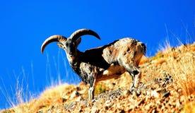 Moutons bleus de l'Himalaya de la vallée magnificant de spiti images libres de droits