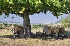 Moutons bulgares images libres de droits