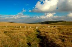 Moutons castrés gris, dartmoor Devon de massif de roche de Sittaford Photographie stock