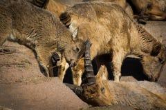 Moutons caucasiens occidentaux de tur de bébé jouant avec la mère sur des roches Image libre de droits