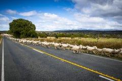 Moutons changeant le pâturage au Nouvelle-Zélande photos stock