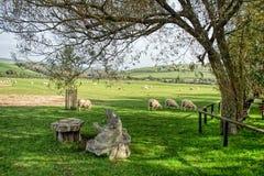 Moutons chez Abbotsbury, Dorset Images stock