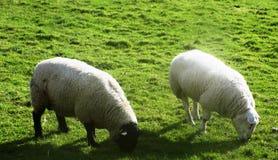 Moutons chez Crookham, le Northumberland, Angleterre images libres de droits