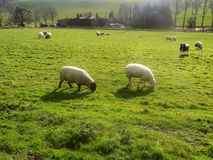 Moutons chez Crookham, le Northumberland, Angleterre photo libre de droits