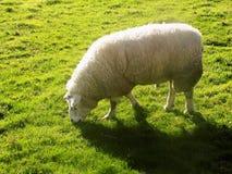 Moutons chez Crookham, le Northumberland, Angleterre photographie stock libre de droits