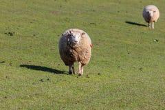 Moutons chez Westerhever photo stock