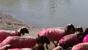 Moutons colorés près de l'eau banque de vidéos