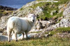 Moutons colorés sur la falaise regardant l'appareil-photo Photographie stock libre de droits