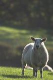 Moutons contre éclairés Photographie stock