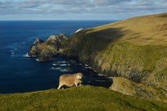 Moutons courageux aux falaises Photographie stock