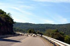 Moutons courants sur la route Images libres de droits