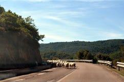 Moutons courants sur la route Photographie stock