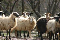 Moutons crétois 1 photos libres de droits
