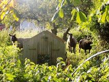Moutons @ Crookham, le Northumberland, Angleterre image stock