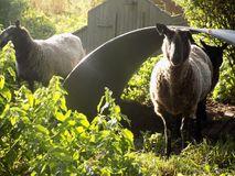 Moutons @ Crookham, le Northumberland, Angleterre de campagne images stock