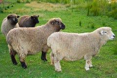 Moutons curieux. Images libres de droits