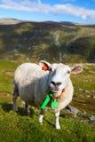 Moutons curieux Photographie stock libre de droits