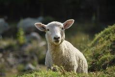 Moutons curieux Image libre de droits