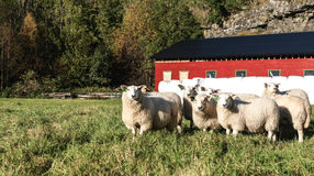 Moutons curieux Image stock