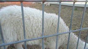 Moutons curieux banque de vidéos