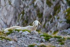 Moutons curieux Photo libre de droits