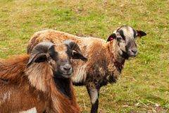 Moutons d'élevage à la ferme Moutons du Cameroun sur le pâturage photo stock