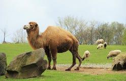 Moutons d'american national standard de chameau Images stock