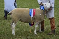 Moutons d'exposition de champion Photos libres de droits