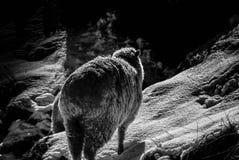 Moutons d'hiver Images libres de droits