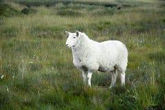 Moutons d'iris photo stock