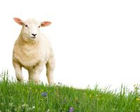 Moutons d'isolement Image stock