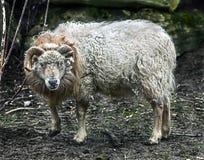 Moutons d'Ouessant Photos stock