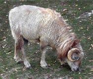 Moutons d'Ouessant photo stock