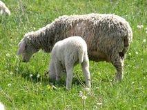 Moutons dans Photos stock