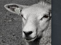Moutons dans b/w Images stock