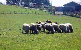 Moutons dans Crookham, le Northumberland du nord, Angleterre image libre de droits