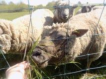 Moutons dans Crookham, le Northumberland du nord, Angleterre images libres de droits
