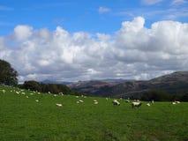 Moutons dans Eskdale, secteur de lac, R-U Photos stock