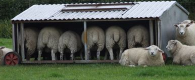 Moutons dans l'abri photographie stock