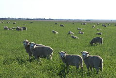 Moutons dans l'herbe Image libre de droits