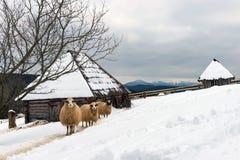 Moutons dans l'horaire d'hiver Images stock