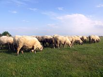 Moutons dans l'horizontal Photos stock