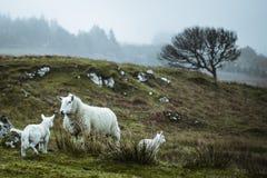 Moutons dans l'immensit? de l'Ecosse image stock